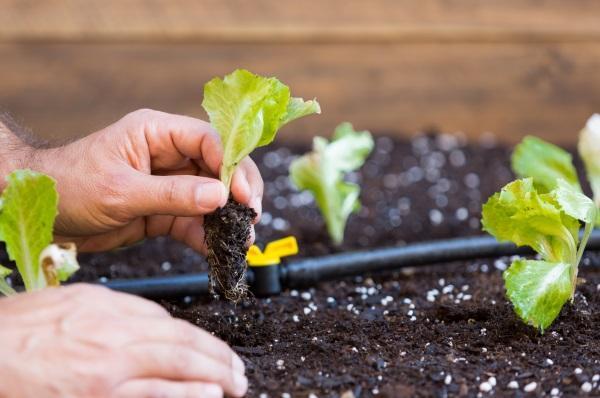 Blick auf zwei Hände, die junge Kopfsalatsetzlinge einpfanzen. Tröpfchenbewässerung im Garten eignet sich besonders gut für empfindliche Gemüsesorten