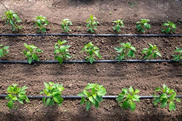 Tropfbewässerung junger Pflanzen - Beetbewässerung